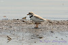 Piping Plover 5