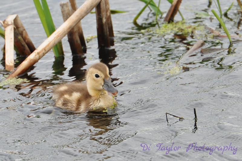 Baby Canvasback duck