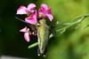 Ruby Throated Hummingbird in Pink Flower