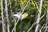 Blackpoll Warbler 2 Sep 12 2020