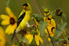 Goldfinch in Black eyed Susans 1
