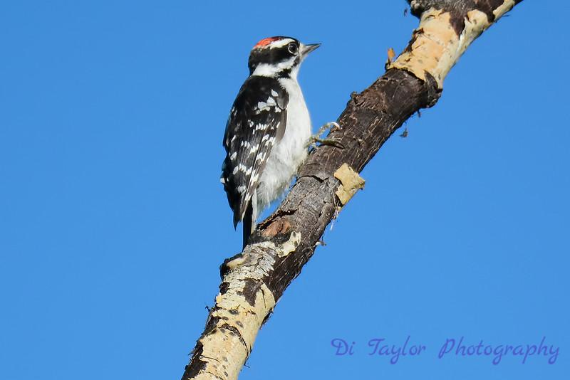 Downy Woodpecker in tree