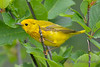 Yellow Warbler 2  23 Jul 2017