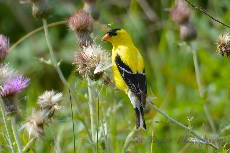 American Goldfinch male  3  14 Aug 2017