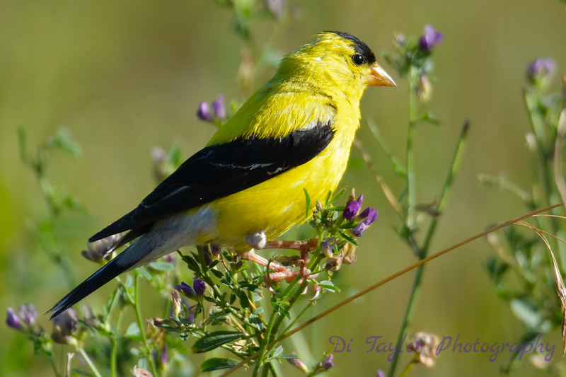 American Goldfinch male in Common Vetch Aug 18 2017