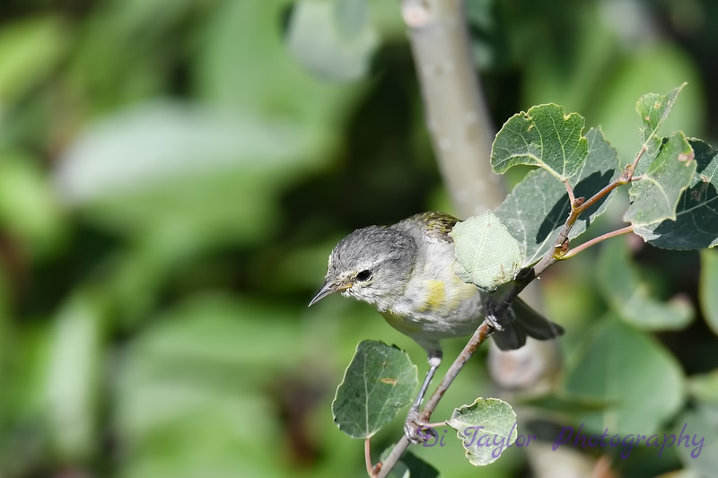 Tennessee Warbler 5 July 29 2018