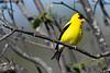 American Goldfinch male 2 July 15 2018