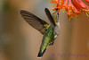 Female Ruby Throated Hummingbird with Honeysuckle trumpet flower 2