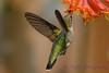 Female Ruby Throated Hummingbird with Honeysuckle trumpet flower 2