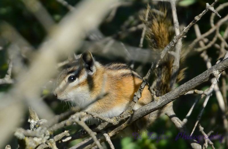 Chipmunk in a tree