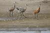 Sandhill Cranes Sep 14 2020