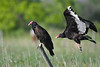 Turkey Vultures June 16 2018