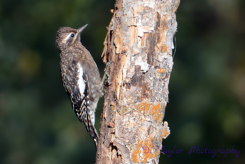 Yellow bellied sapsucker juvenile