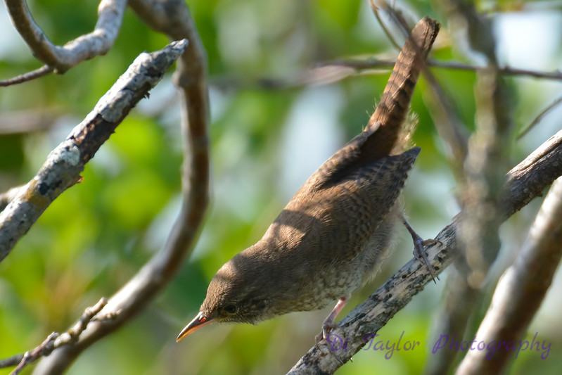 House Wren 28 Jul 2017