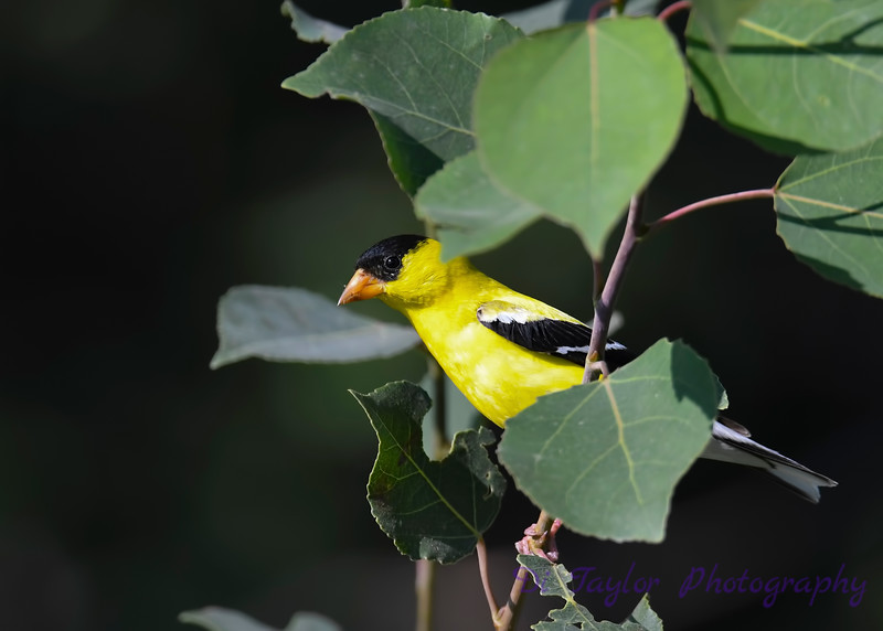 American Goldfinch July 29 2018