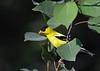 American Goldfinch July 29 2018