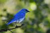Mountain Bluebird male June 16 2018