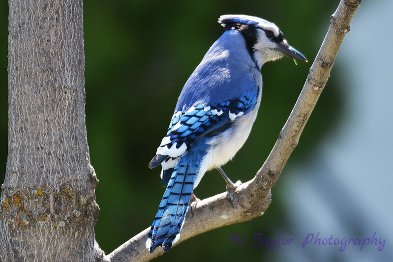 Blue Jay  2 20 May 2017