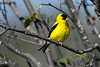 American Goldfinch male July 15 2018