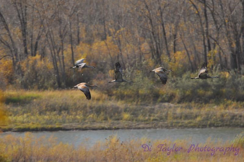 Sandhill cranes in fall Sandhill cranes in fall, Saskatchewan