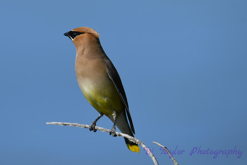 Cedar Waxwing July 29 2018