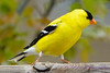 Goldfinch closeup 2
