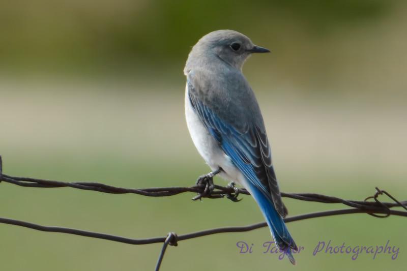 Bluebird (female) on wire