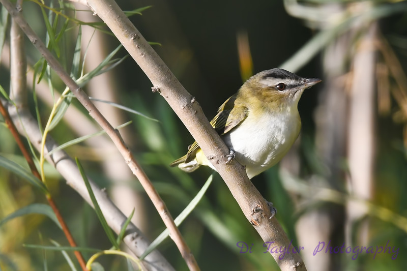 Red Eyed Vireo 4  Sep 7 2018