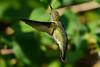 Jeuvenile Ruby throated hummingbird in honeysuckle trumpet vine 3
