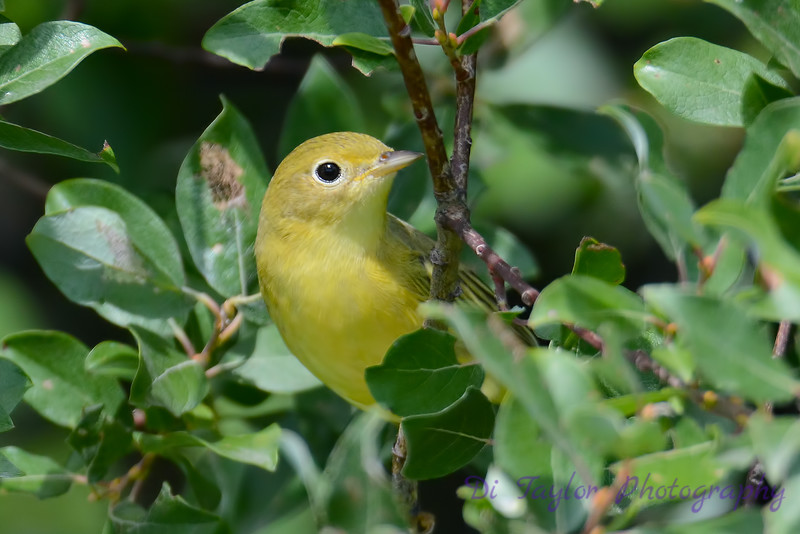 Yellow Warbler in poplar tree
