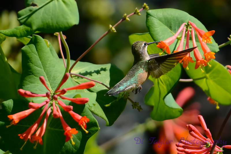 Female Ruby Throated Hummingbird 2015 2