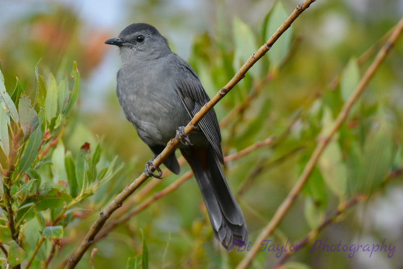 Gray Catbird Aug 20 2017