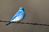 Mountain Bluebird male May 3 2018