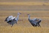 Sandhill Cranes Fall Migration 5 Sep 15 2018