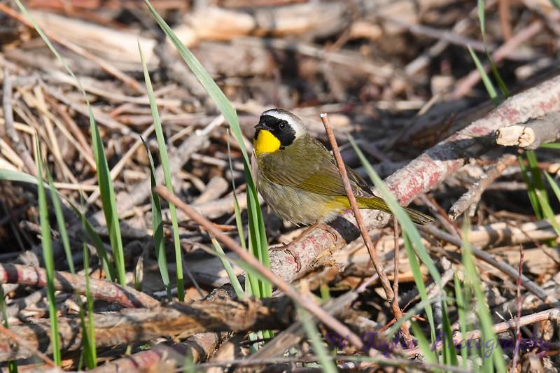 Common Yellow throat male 1 Jun 2019
