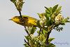 Yellow Warbler in blooming tree 2