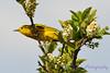 Yellow Warbler in blooming tree 2