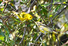 Yellow Warbler male feeding baby 5