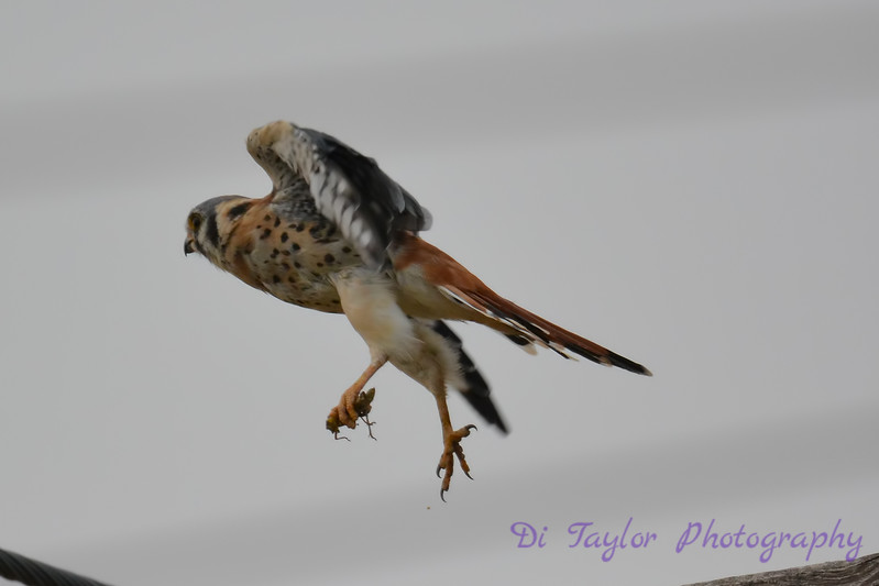 American Kestrel Aug 31 2017