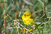 Yellow Warbler 7 Aug 7 2018