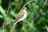 Least Flycatcher 2  Aug 21 2017