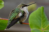 Young Hummingbird displaying feathers