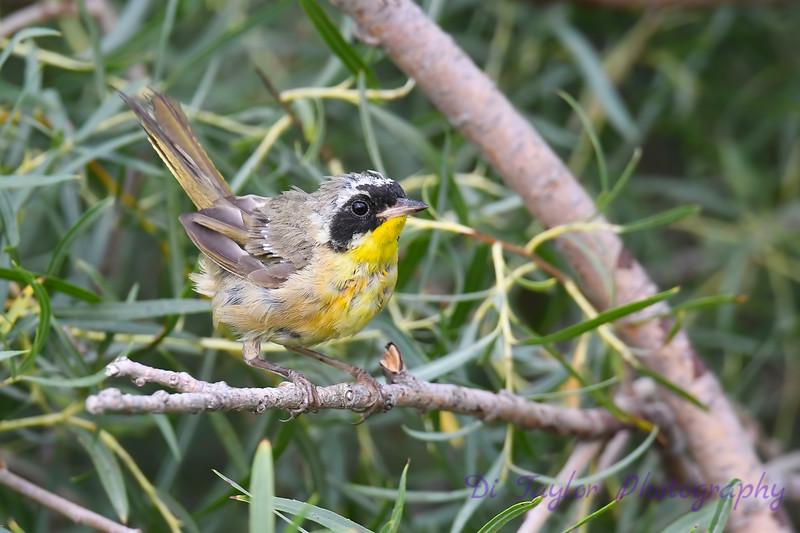 Common Yellowthroat male 3 Aug 7 2018