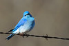 Mountain Bluebird male 5 May 3 2018