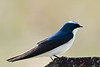 Tree Swallow May 7 2017