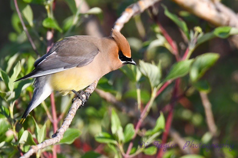 Cedar Waxwing  9 Jun 2019