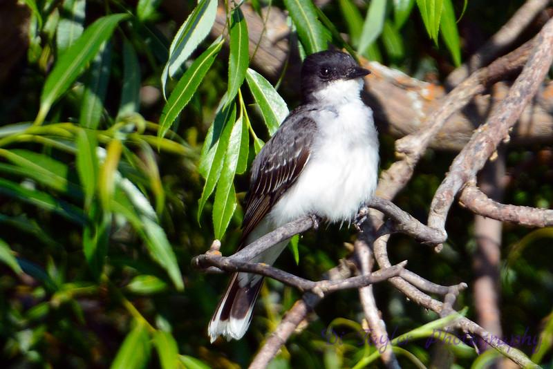 Eastern Kingbird jeuvenile