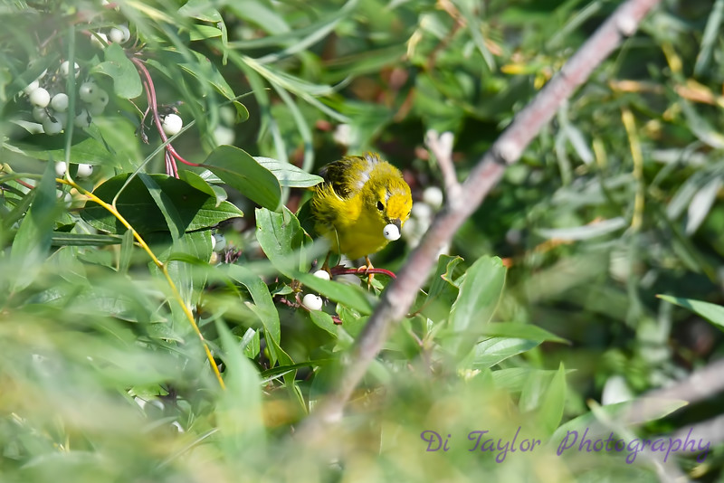 Yellow Warbler 2 Aug 7 2018