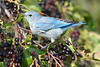 Mountain Bluebird young male  2  Aug 22 2017