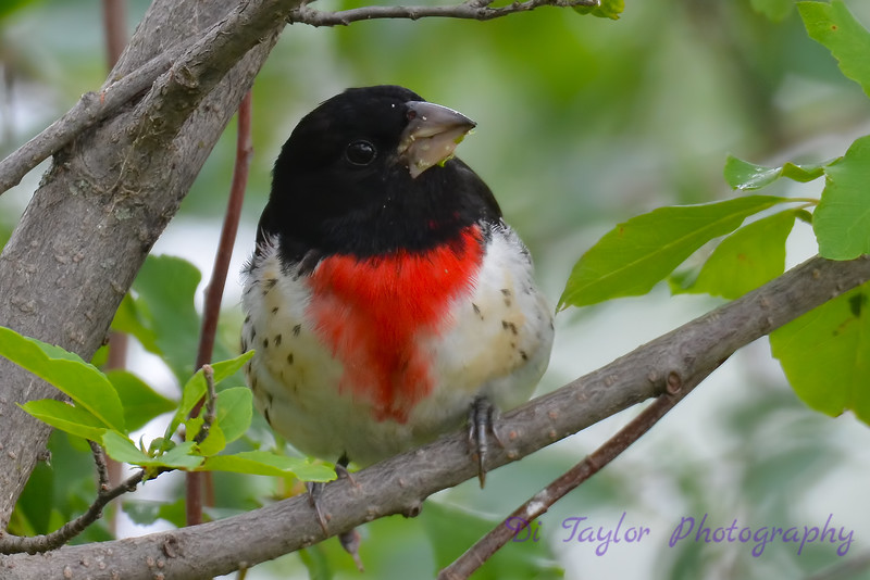 Rose Breasted Grosbeak  3  22 Jul 2017